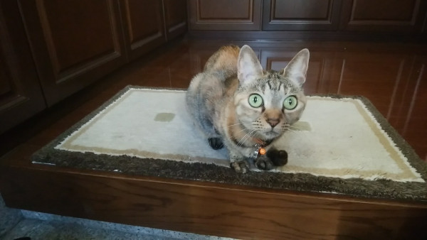 玄関マットの上にいるネコ