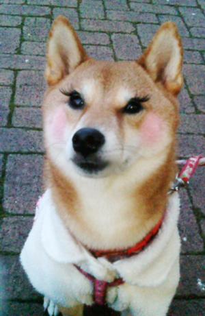 20121214つけま犬ぽちこ