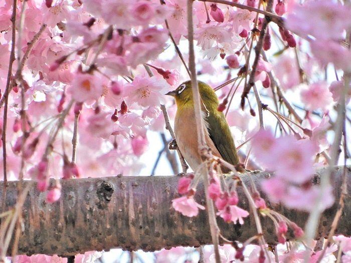 八重枝垂れ桜とメジロ2