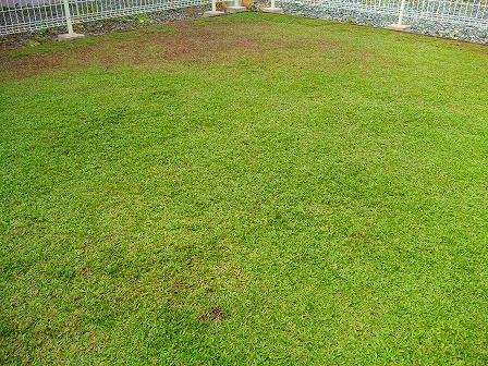 クラピアの庭にコガネムシの幼虫が大量発生6