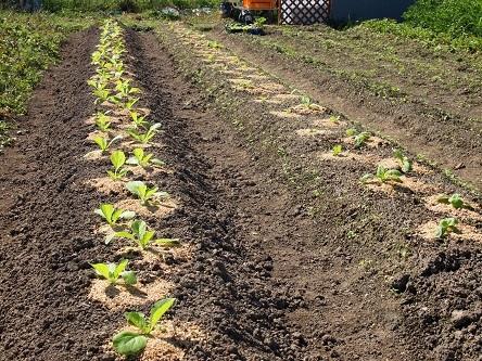 2015年9月22日  白菜苗移植3日目.jpg