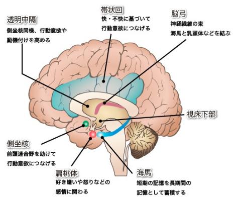 扁桃体/視床下部/脳幹.png