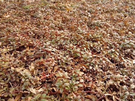 クリーピングタイムの葉色が変化する3