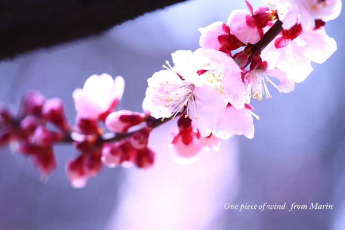 アンズの花1