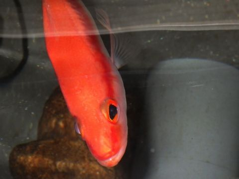 トゲハナスズキ(Liopropoma japonicum)24 深海魚飼育