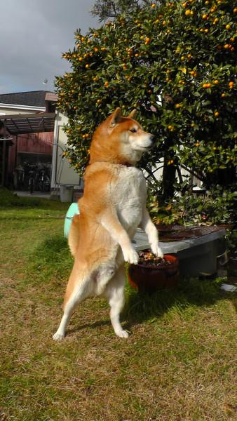 立って横を向く柴犬