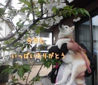 0409sakura3.jpg