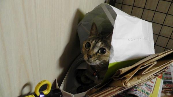 紙袋に納まる猫