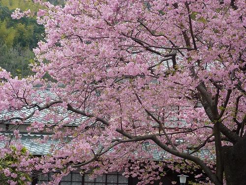 桜見頃[1].jpg