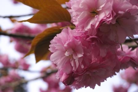 ピンク桜.JPG