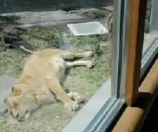2012-0416-lion01