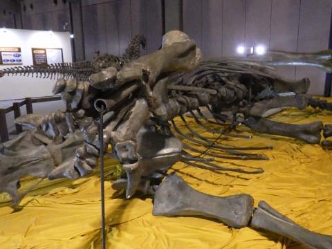 恐竜展2017巨大化の謎にせまる19 ディプロドクスの全身骨格