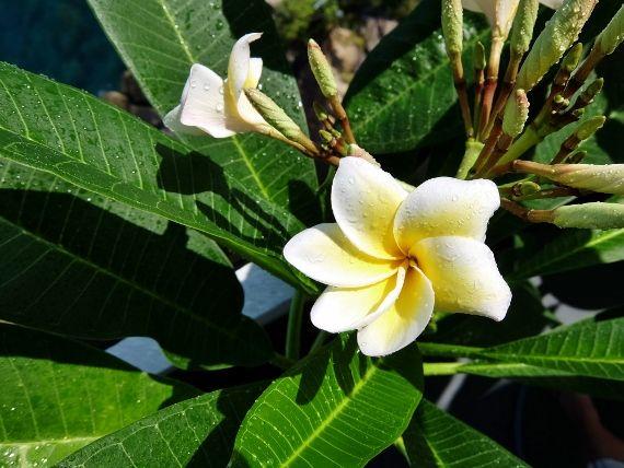 プルメリア 葉 花 咲いた 開花 ベランダ 花びら 6枚