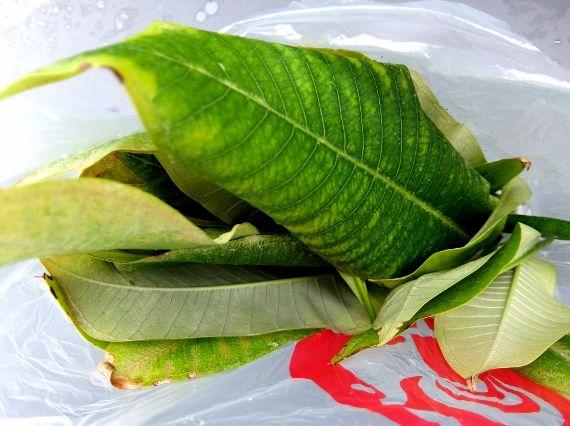 プルメリア ベランダ 鉢 育成 ハワイ 葉 剪定