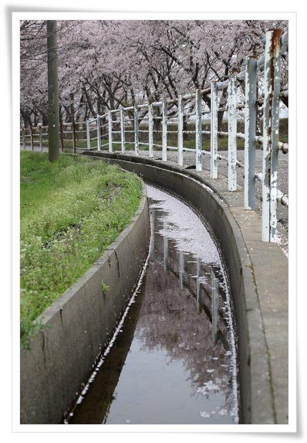 森下川-5 側溝に映る桜 16.4.10