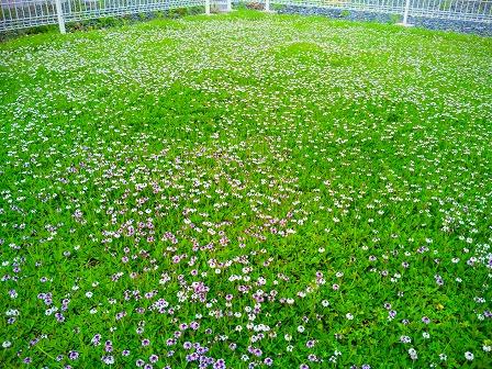 クラピアの混植エリアでの花数2