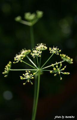 イタリアンパセリの花♪