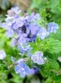 IMG_4490―青花とアジュガ (88x120).jpg