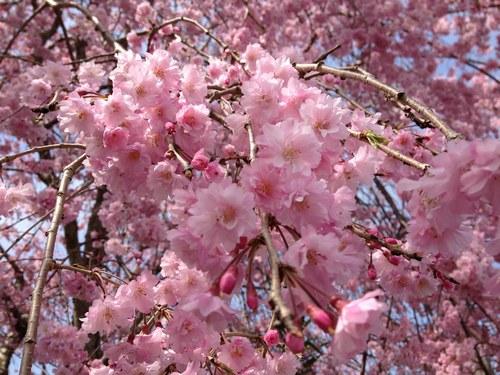 2枝垂れ桜全体500.jpg