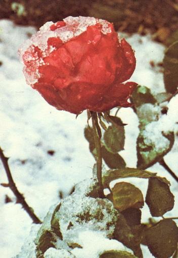 雪中に咲くバラ