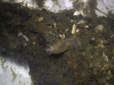 イソギンチャク35  水深200-300mのホヤに付着する生体 熊野灘