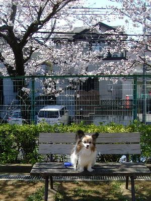 2012桜祭り4.JPG