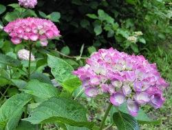 紫陽花園C