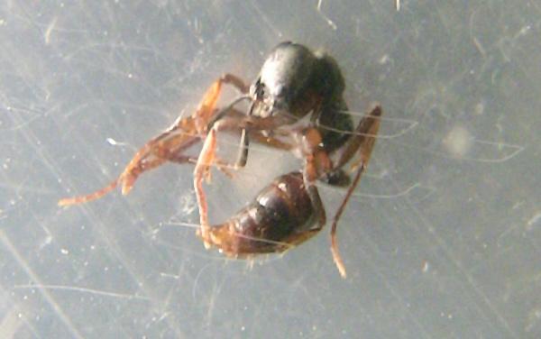 オオハリアリ 大針蟻