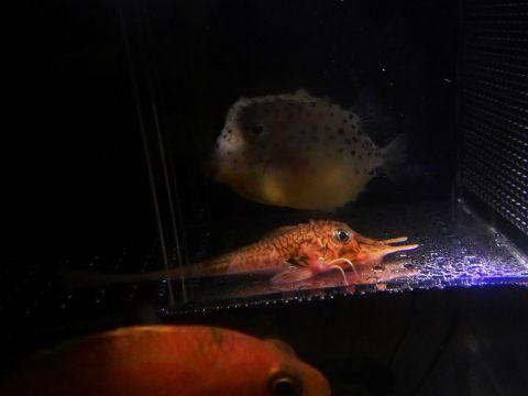 イトマキフグ(Kentrocapros aculeatus)とキホウボウ(Peristedion orientale)1 深海魚飼育