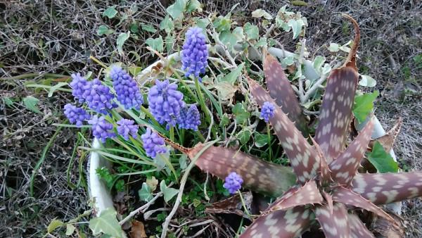 ムスカリ グレープヒヤシンス の花