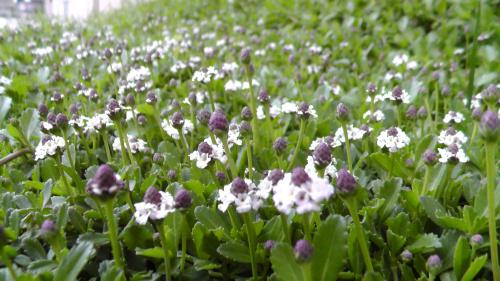 イワダレソウ(クラピアS1)の花