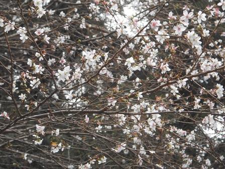4四季桜.JPG