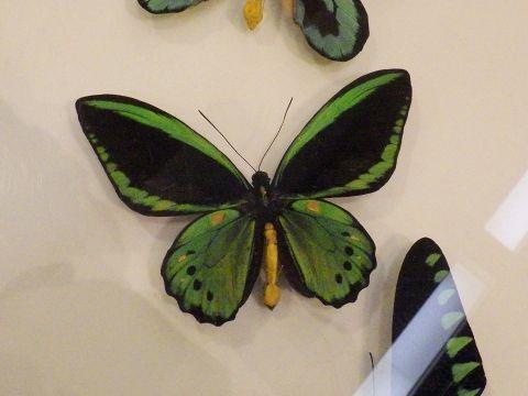 大阪市立自然史博物館2019年7月下旬11 ミドリメガネトリバネアゲハ(オス)の標本