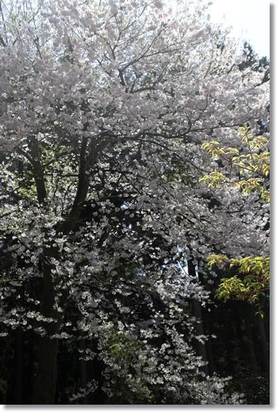 樹木公園-45 望月桜-2 16.4.9