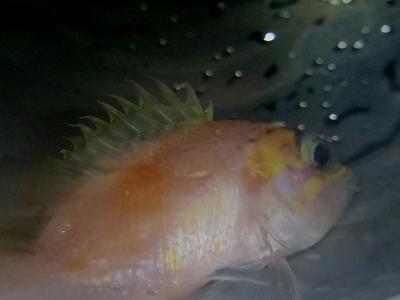 沖縄深海魚採集2013年7月下旬9 Selenanthias sp.