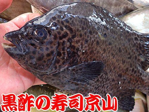 イシガキダイ 寿司 出前 未利用魚