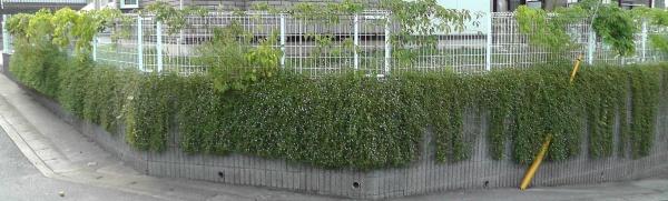 擁壁に垂れたイワダレソウを剪定