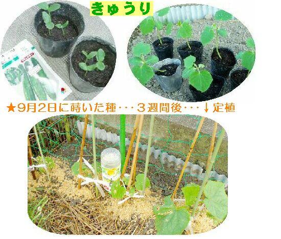 きゅうり 定植