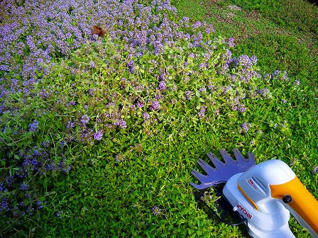 ロンギカウリスの花を刈り込みました6
