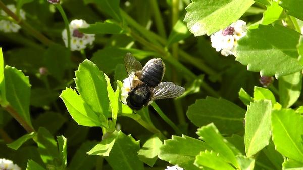 蜂 ハチ イワダレソウ クラピアS1 花