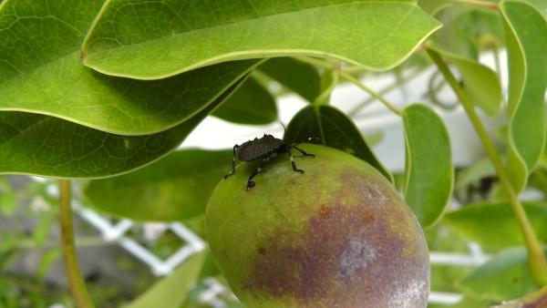 ムベの実に付くクサギカメムシの5齢幼虫?