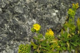 16黄色花.JPG