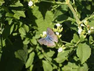 ムラサキ蝶
