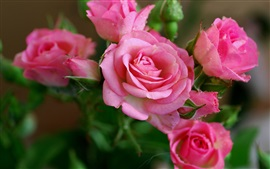 Rose-pink-flowers-beautiful-petals-dew_s