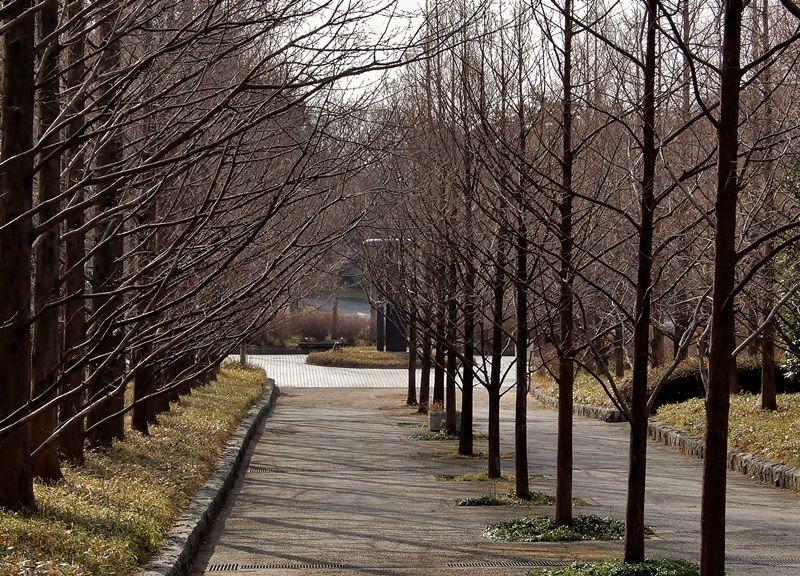 メタセコイア並木15