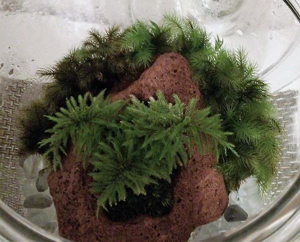 上から見た苔テラリウム(コウヤノマンネングサ盆栽) 12,4