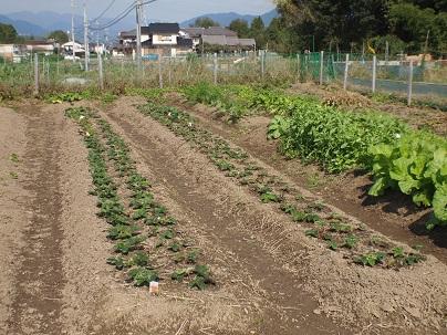 2013年11月 イチゴ苗植え付け完了.jpg