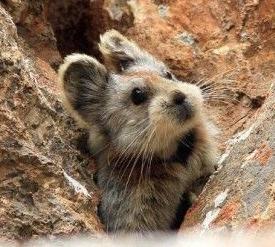 イリナキウサギ.jpg