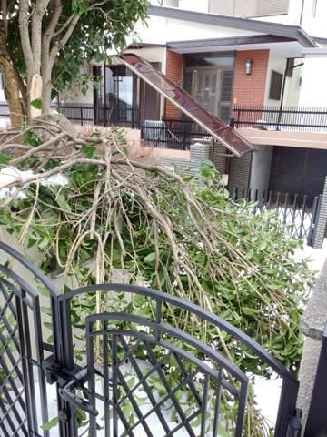 門に倒れかかった大枝