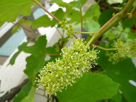 2葡萄花咲き 4502jpg.jpg